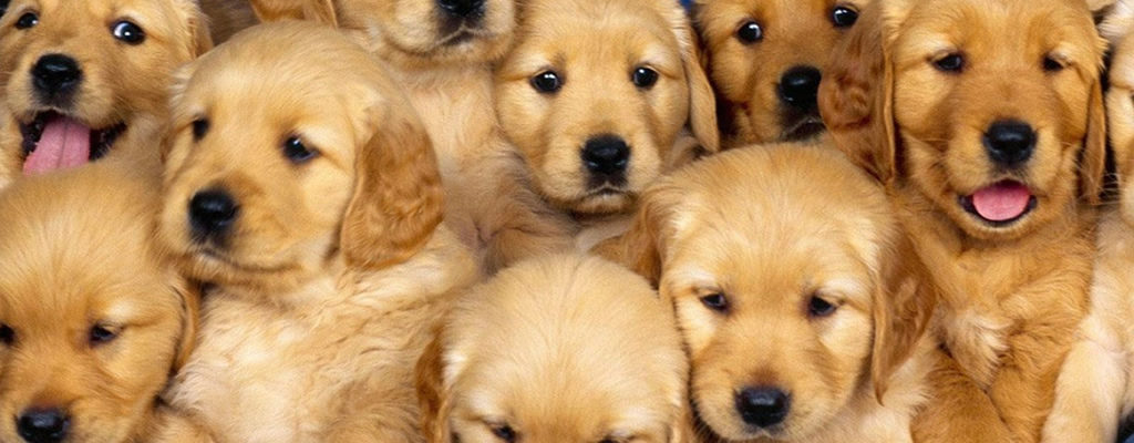 happy-oodles-which-dog-is-right-for-you-puppies-are-cute-fl2