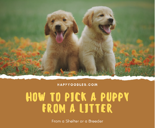How to Pick a Puppy from a Litter - Two puppies in field