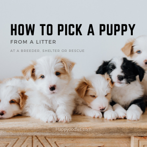 How to pick a puppy from a litter -Happyoodles.com