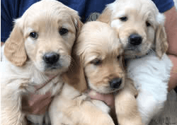 How Much Does It Cost to Adopt a Dog? Three golden retriever puppies