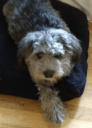 Black and gray long haired dog lying on bed - Part of How to Prevent Separation Anxiety in Dogs