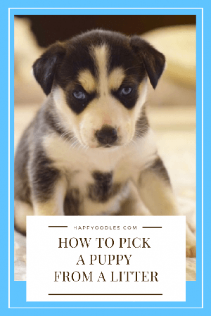 How to Pick a Puppy from a Litter - Black and white puppy sitting