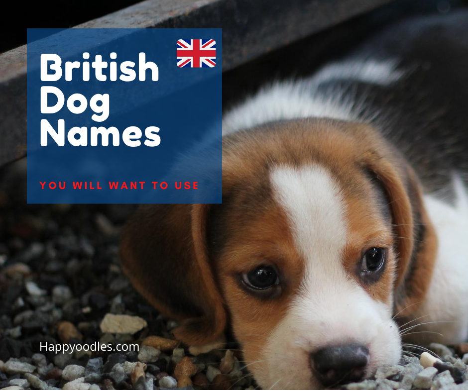 Happyoodles.com British Dog Names - You will want to use - Beagle puppy