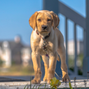 Homeowner Association Rules for Pets-  Dog on deck Happyoodles.com