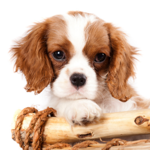 550 English Dog Names For Your Pup Spaniel