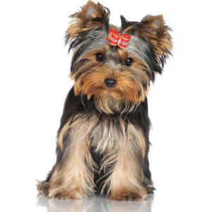 550 English Dog Names For Your Pup Yorkshire Terrier
