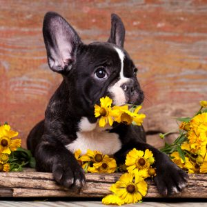 Happyooldes.com Nature Dog Names French bulldog puppy