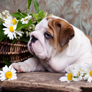 Happyoodles.com nature dog names Bulldog with daisys