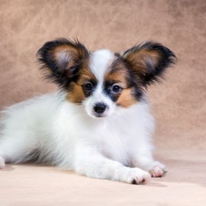 Papillon puppy Happyoodles.com