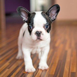 French Dog Names: Over 450 Names To Choose From - French bulldog puppy Happyoodles.com