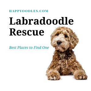 Labradoodle Rescue: Best Places to Find One - Title picture with golden Labradoodle