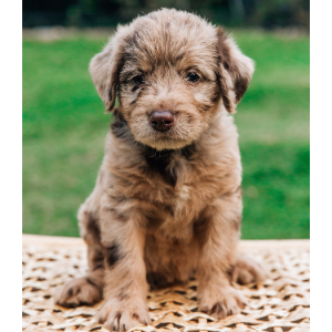 Labradoodle adoptions: Best Places to Find One - Happyoodles.com Brown puppy