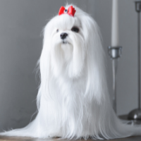 White Dog Names - White dog with red bow