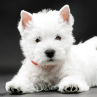 White Dog Names: 375+ Names for White Dogs West Highland Terrier