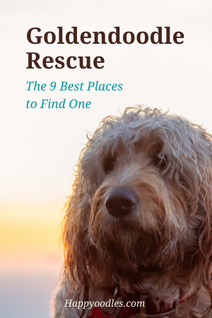 Goldendoodle Rescue: 9 Best Places To Look For One  pin