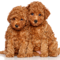 Goldendoodle Rescue: 9 Best Places To Look For One Red poodles
