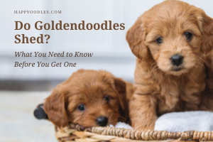 Do Goldendoodles Shed?  What You Need to Know