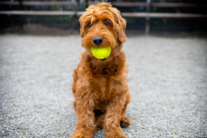 Mini Goldendoodle with tennis ball