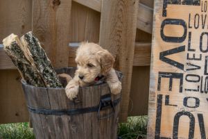 Mini Goldendoodle Guide: With Updated Information 2021