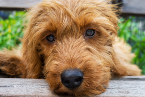 What Does A Goldendoodle Cost in 2021?