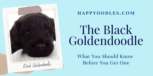 Black Goldendoodle: What You Need to Know